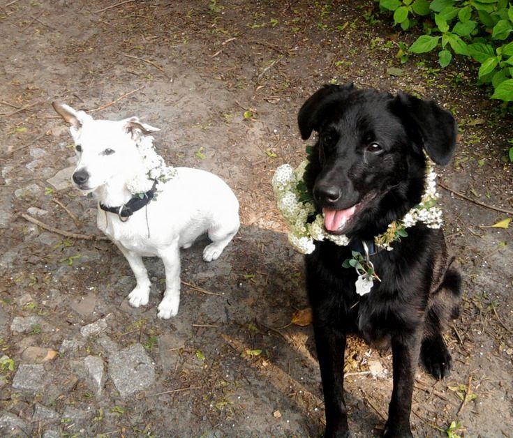 Labrador-Mix / Jack Russel-Mix Rico & Charly Entschuldigung! Wo geht´s denn hier zur Hochzeitsfeier? #Hundename: Rico & Charly / Rasse: #Labrador-Mix / Jack Russel-Mix      Mehr Fotos: https://magazin.dogs-2-love.com/foto/labrador-mix-jack-russel-mix-rico-charly/ Foto, Hund, Liebe