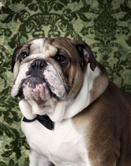love the bowtie!: Canin Chronicles, Bows Ties, Bulldogs Portraits, English Bulldogs, Puppys, Bowties, Winnie Au, Little Dogs, Bull Dogs