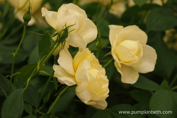 New Introductions from David Austin Roses for 2017 - Pumpkin Beth
