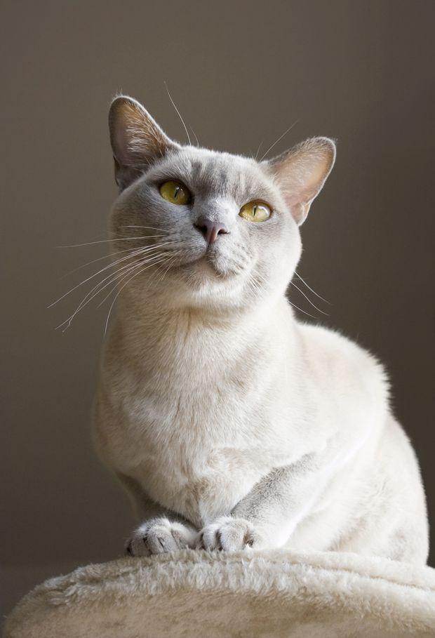5 Beguiling Facts About Burmese Cats Mental Floss Best Cat