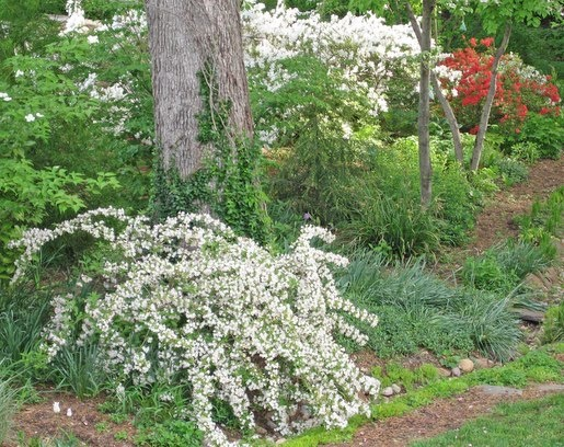 'White Knight' Weigela has blooms so pale, they're almost white.  It stays relatively compact, too - wider than tall.