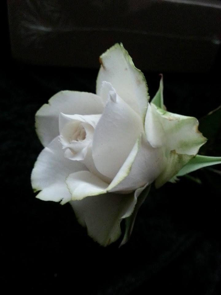 the perfect gumpaste rose