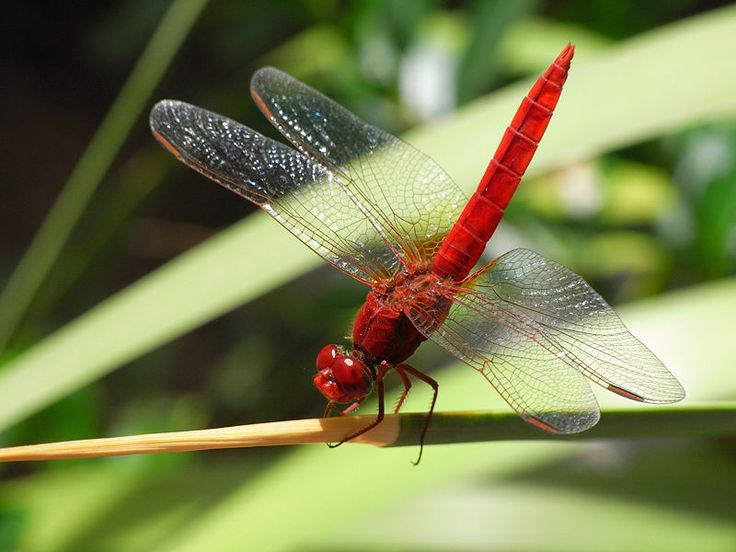 8-21-12 A red dragonfly I have been seeing in Lakeland, FL                      Dragonflies - Facts and Photos