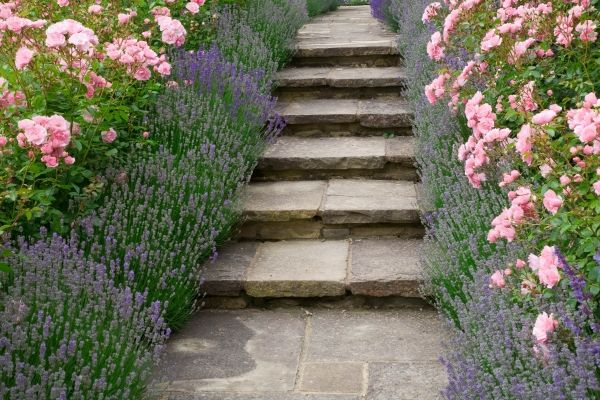 Plants for Borders in France - Lavender plants and Roses (old english pink roses), Peonies and Hellebores Borders: Lavender Hidcote, Rose Bonica, Lavandula angustifolia Hidcote, Rosa 'Bonica',