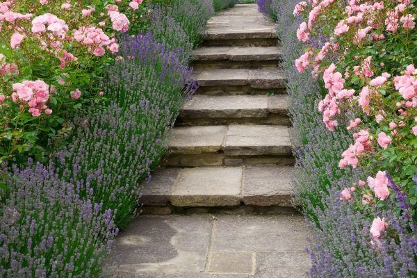 Garden ideas, Border ideas, Path Ideas, Hedge Ideas, Lavender Hidcote, Rose Bonica, Lavandula angustifolia Hidcote, Rosa 'Bonica', Garden Pa...