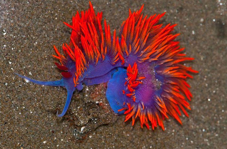 curiosas-babosas-marinas-nudibranquios (7)