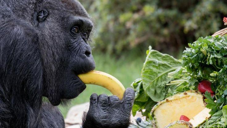 World's oldest gorilla celebrates 60th birthday in Berlin