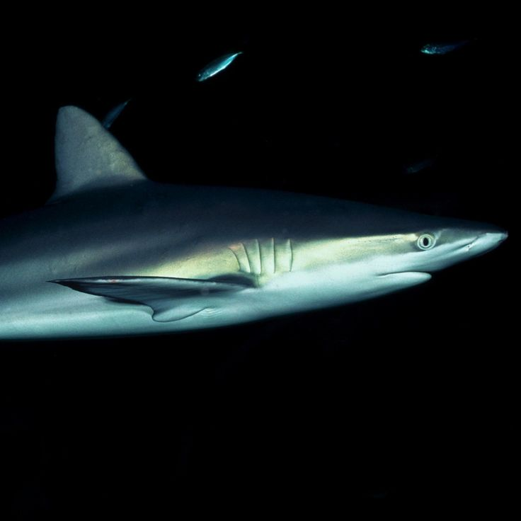 This long-lived shark inhabits tropical and temperate oceans worldwide. Discover more about the dusky shark.
