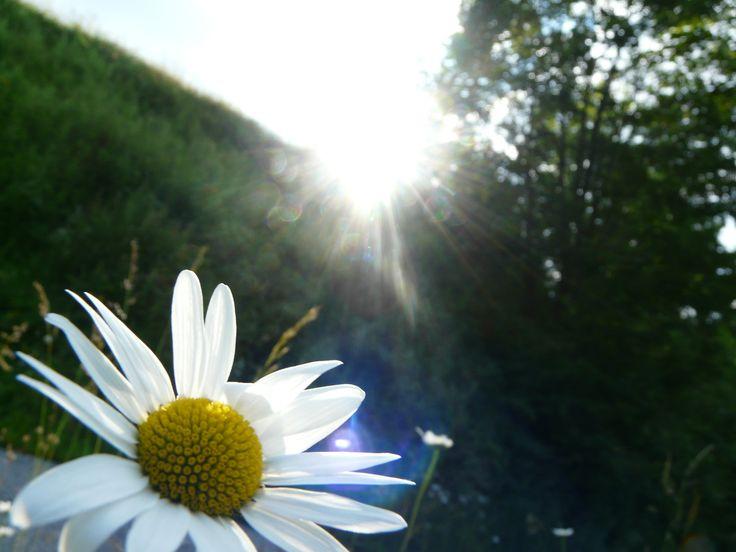 Daisy, sun and nature :3