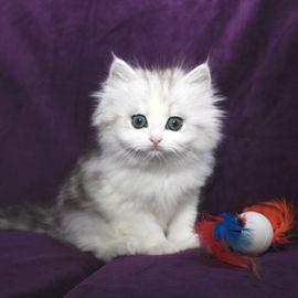Ragamuffin Cat For Sale Mn