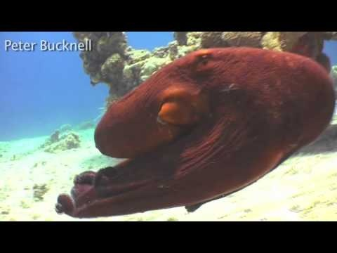 Amazing Octopus Video.  Video by Peter Bucknell :  http://www.how2scuba.us