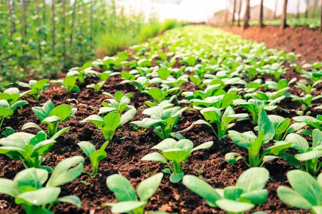 Organic Vegetable Garden | Organic vegetable garden, Summer vegetables  garden, Organic vegetables