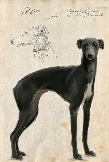 Chiens, Lévriers, Galgos, Podencos, Greyhounds