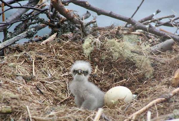 Newborn Fuzzball -Baby Bald Eagles