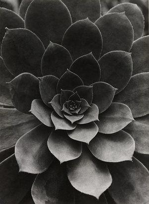 Sempervivum Percarneum, 1922 by Albert Renger-Patzsch