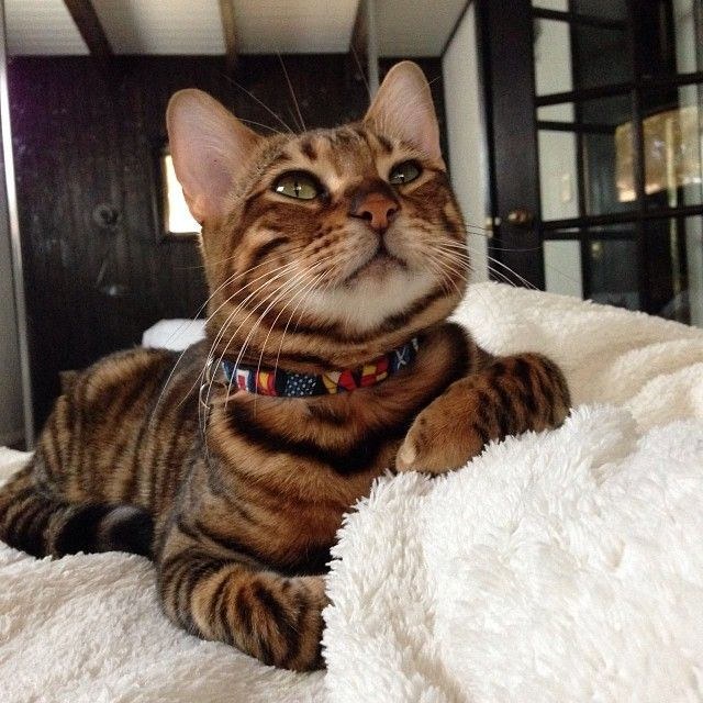 My name is Pippa Hathaway, I'm a rare toyger kitten living in California. I was bred to look like a mini tiger.