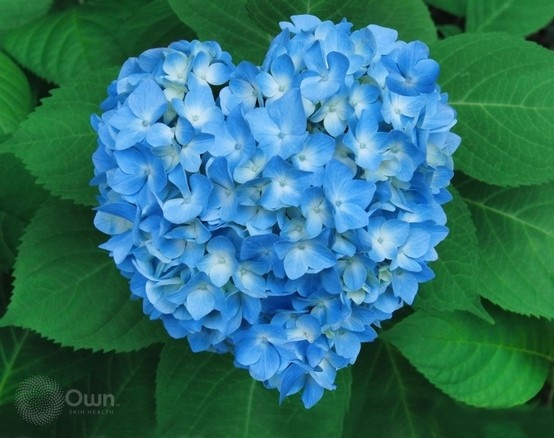 hydrangea first discovered in japan  the name hydrangea