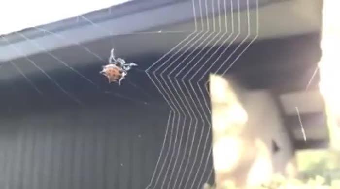 Spider Weaving Web