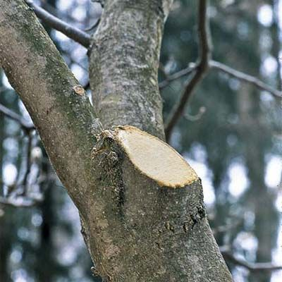"""Why professional arborists gave up the practice of painting tree wounds and pruning cuts years ago, and how this practice actually slows trees' natural healing process of sealing cuts with a tough layer of """"woundwood."""""""
