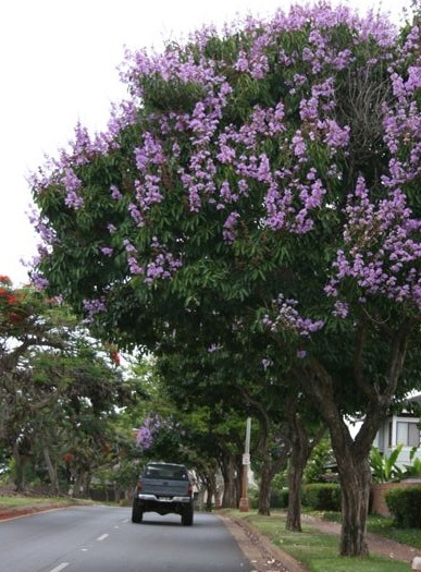 Trees > Giant Crepe Myrtle