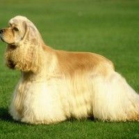 #dogalize Razas de Perros: Cocker Spaniel Americano caracteristicas #dogs #cats #pets