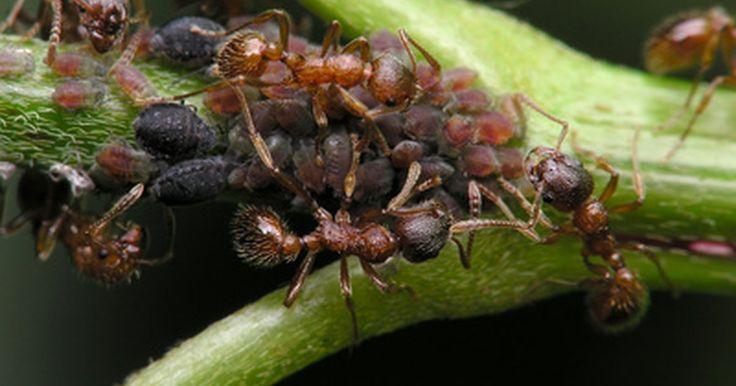 O uso do vinagre para matar formigas-de-cupim. As formigas-de-cupim destroem a madeira e outras superfícies, causando problemas estruturais nas casas. O vinagre por si só ou em conjunto com outros ingredientes é uma forma de controlar uma infestação.