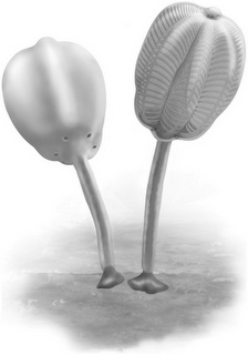 Siphusauctum is a newly discovered animal from the Burgess Shale. It is one of the weirdest animals from the Burgess Shale ever found. Siphusauctum was described by Jean-Bernard Caron, Curator of Invertebrate Paleontology at the Royal Ontario Museum, and Lorna J. O'Brien from the Department of Ecology and Evolutionary Biology at the University of Toronto, and was just announced.