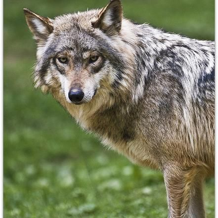 Mexican Wolves:Information about Mexican wolves.