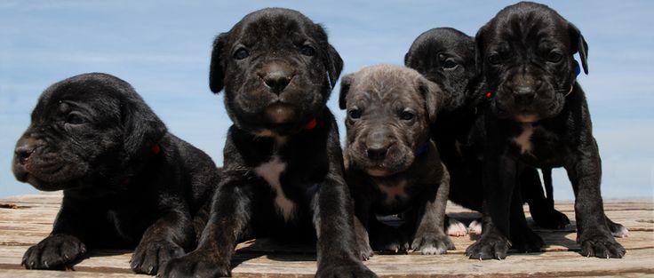Ahhh...corso pups!