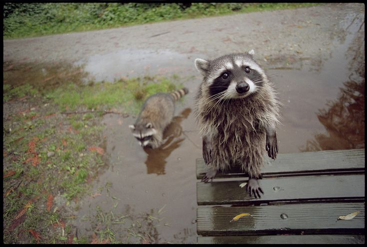 raccoon is wet...need towel