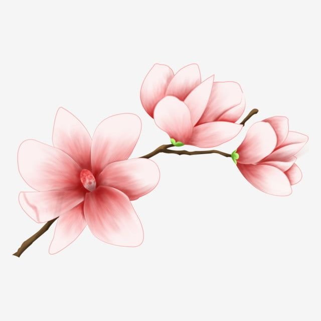 A Pink Magnolia Flower Magnolia Flower Spring Magnolia Png Transparent Clipart Image And Psd File For Free Download Magnolia Flower Pink Flowers Background Flower Clipart