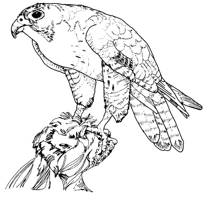 Real Detailed Hawk Coloring Pages Printable