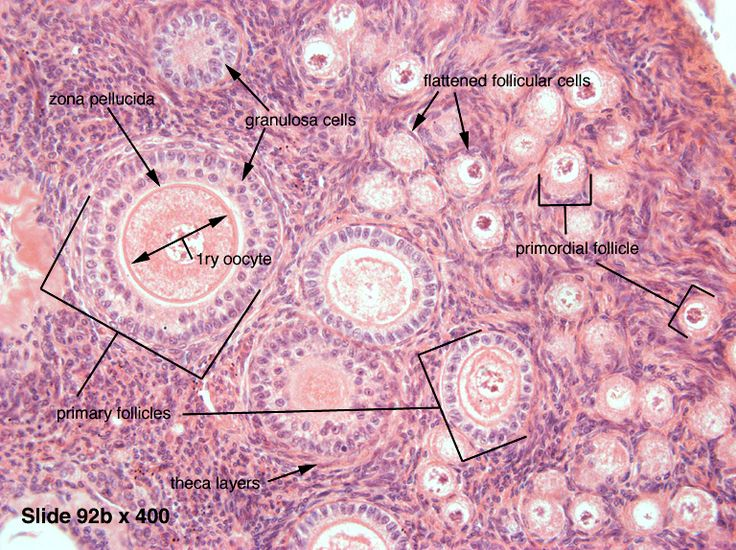 This image shows the histology of ovarian follicles. Examples of primordial and primary follicles are labeled. One to three primordial follicles are developed into primary follicles each monthly uterine cycle. Over about forty years of menstruation, about 500 primordial follicles are developed into primary follicles. This is much less than the 400,000 eggs females have available over their lifetime.