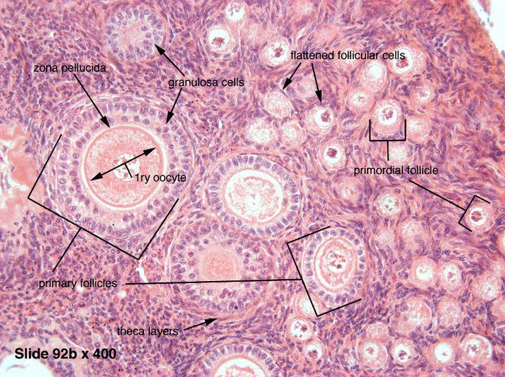 Ovary Histology Labeled Graafian Follicle The 25+ best Ovarian f...