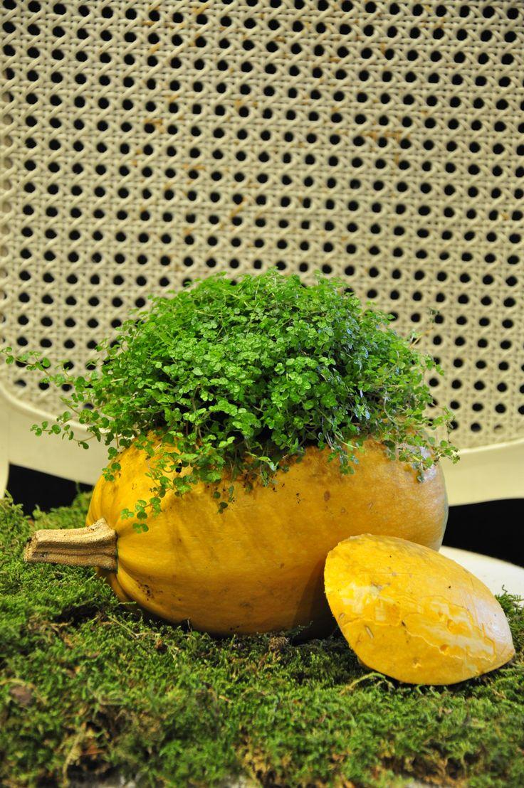plant arangement in zucchini