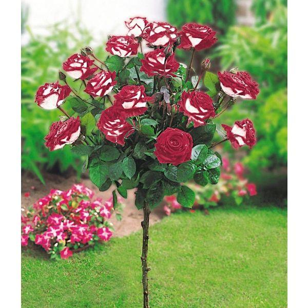 Popular Rosen St mmchen uOsiria u St mmchen jetzt g nstig in Ihrem MEIN SCH NER