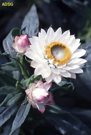 Xerochrysum bracteatum - white paper daisy