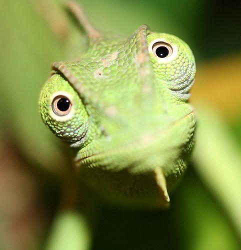 Veiled Chameleon (Chamaeleo calyptratus)  the look on my face when I do math homework.
