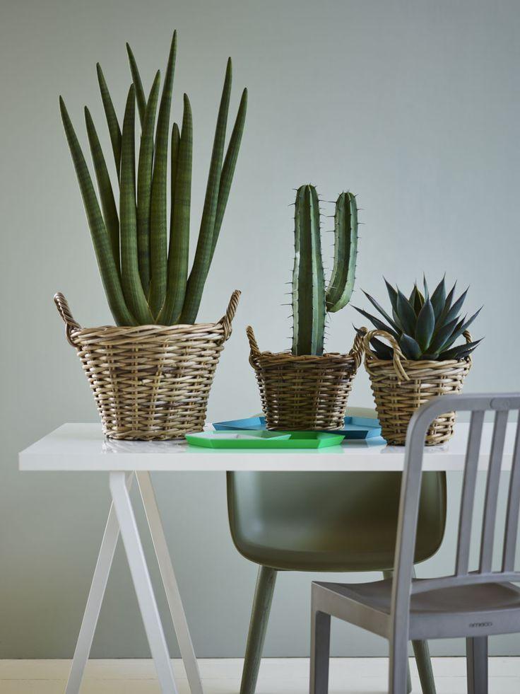 Kult med en miks av kaktuser og sukkulenter.