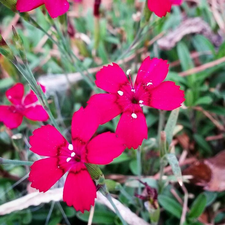 """""""Brilliant"""" Maiden Pink (Dianthus deltoides) coming into Autumn bloom - after a great Spring & Summer show. In a sunny drier spot in the garden."""