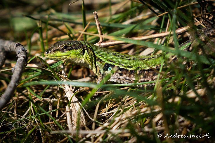 Lizard on grass - null