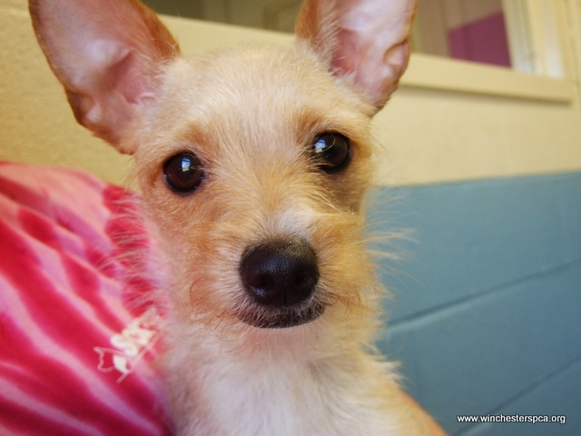 chihuahua wire haired terrier