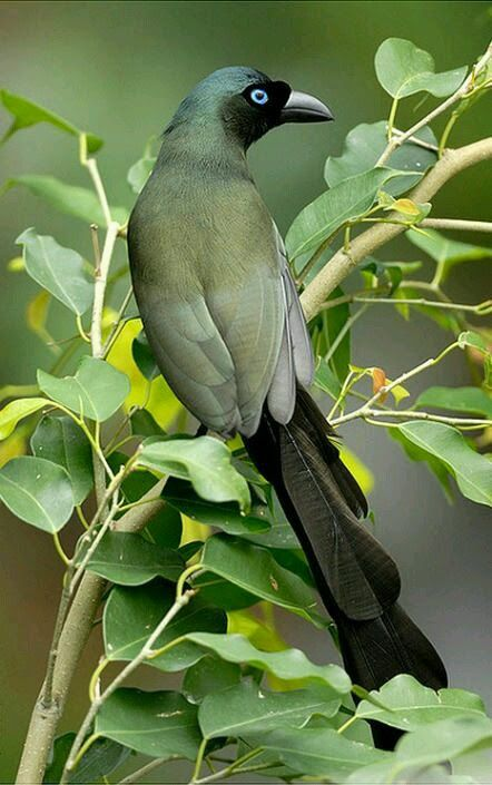 Racket-tailed Treepie (Crypsirina temia) This Asian treepie almost always feeds in trees (arboreal), never feeding from the ground though coming down to bathe on occasion. It moves through the trees with great agility and uses its remarkable tail as a balancing organ.