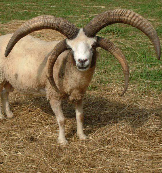 jacob ram sheep