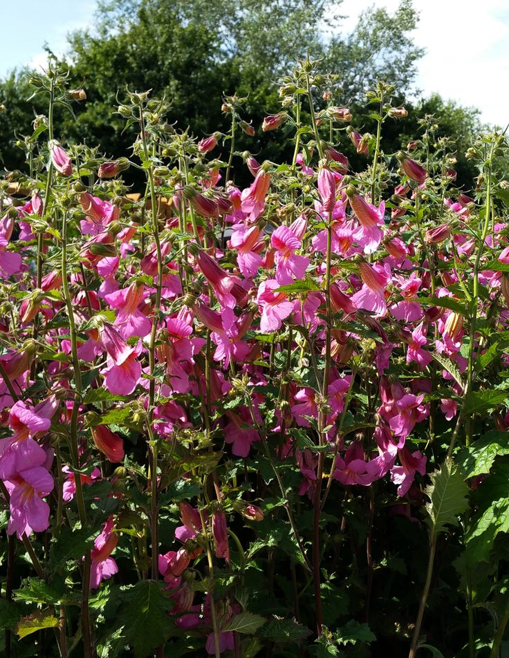 This Chinese foxglove make a great alternative to a normal foxglove, with large flowers on tall spikes and lush foliage.  Cut the flower spikes back in late summer for more autumn colour. Protect from winter frosts.