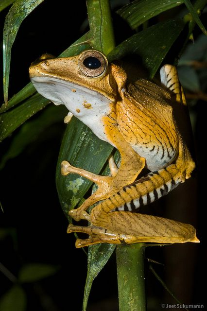 Polypedates otilophus (Rhacophoridae), the File-eared Tree Frog,Borneo or Sumatra.