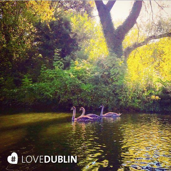 Swans on the pond in St. Stephen's Green taken by @fifi099 #LoveDublin