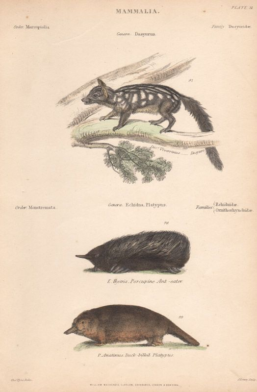 Dasyure, Echidna and Platypus, Wood-engraving with later hand-colouring. C1870