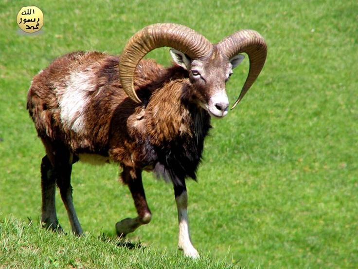 Günümüzde hayvanat bahçelerinde ve hayvan çeşitleri olan çiftliklerde bulunmaktadır.