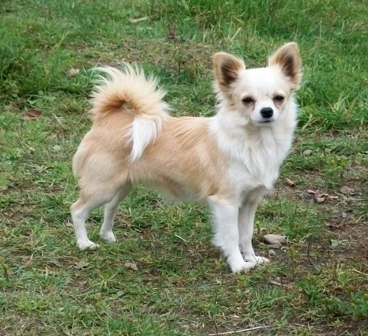 LONG HAIR CHIHUAHUAS on Pinterest | Long Haired Chihuahua, Long ...